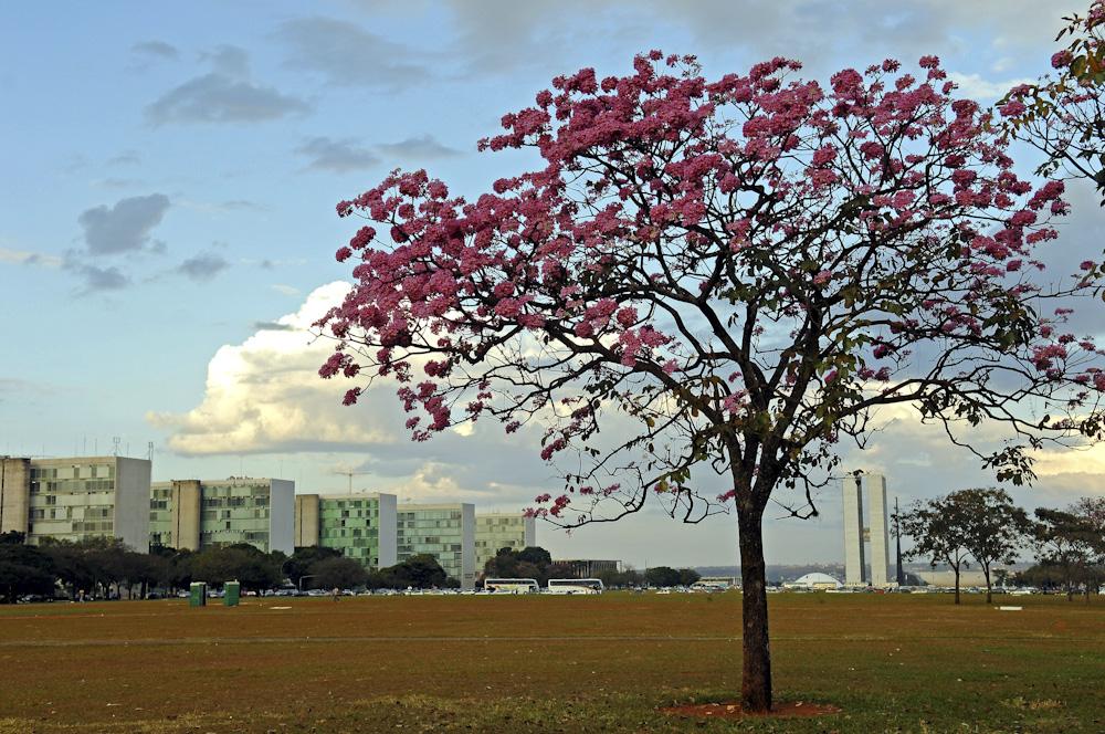 27/05/2008. Credito: Zuleika de Souza/CB/D.A Press. Ipe florido na Esplanada dos Ministerios.